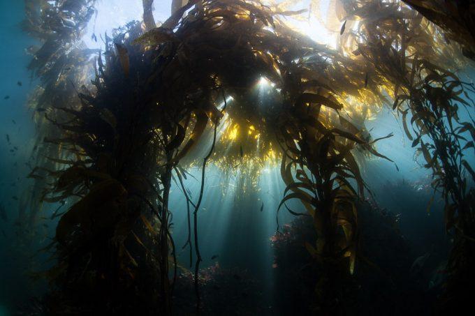 Brune alger